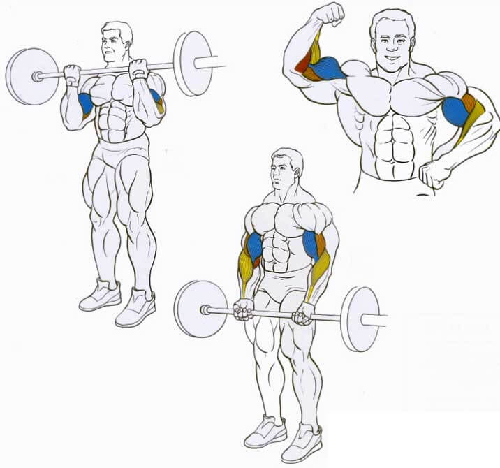 working muscles during barbell biceps curl