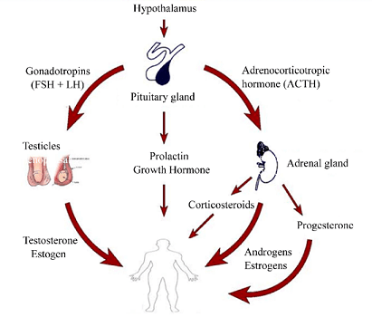 connection between sex hormones