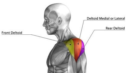 muscles of shoulders