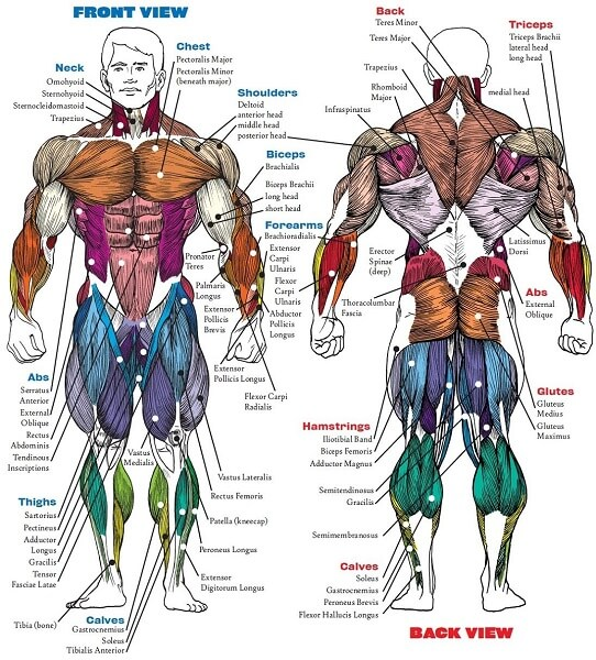 the muscles of a body