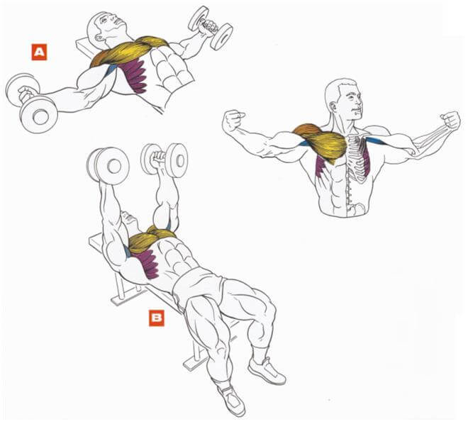 dumbbell chest fly muscles