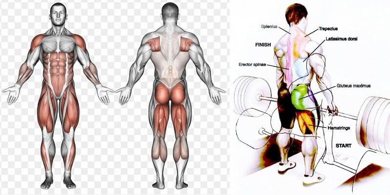 muscles during deadlift