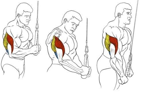 muscles during cable triceps extension