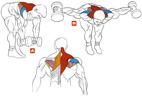 muscles during dumbbell bent over raise