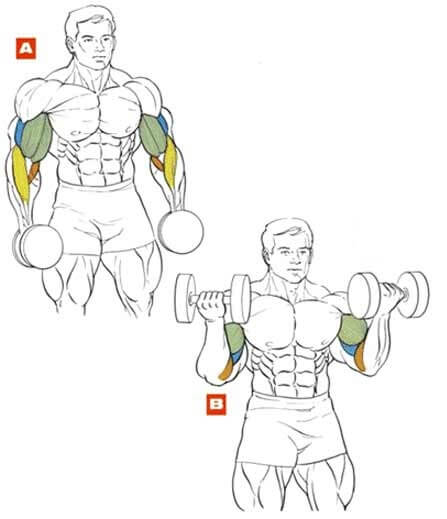 muscles during dumbbell biceps curl