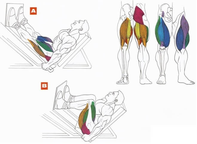muscles during leg press
